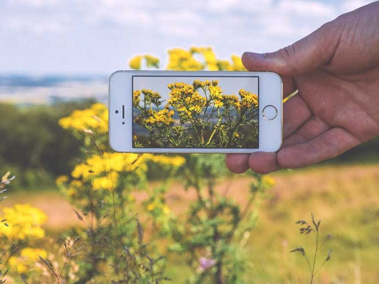 Taking a smartphone image of yellow flowers in a field